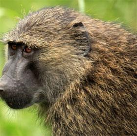 Khỉ đầu chó biết đếm