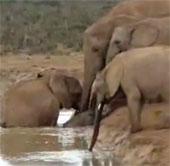 Video: Bi hài cảnh voi mẹ cứu con khỏi chết đuối