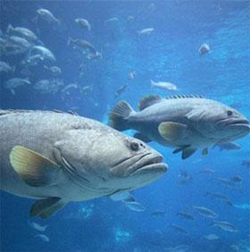 """Cá dùng """"ngôn ngữ cử chỉ"""" để phối hợp săn mồi"""