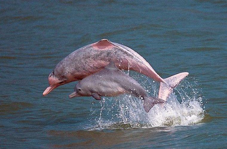 Chiêm ngưỡng cá heo hồng đặc biệt quý hiếm