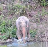 Phát hiện voi màu hồng kỳ dị ở Thái Lan