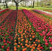 Hoa khoe sắc trong khu vườn lớn nhất thế giới