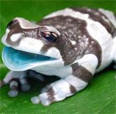 """Kỳ dị loài ếch tiết """"sữa"""" khi bị stress"""