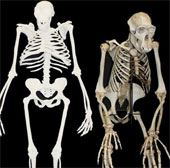 Khám phá mới về hóa thạch người Au. Sediba