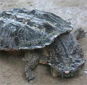 Quái thú rùa có bộ dạng kinh dị nhất hành tinh