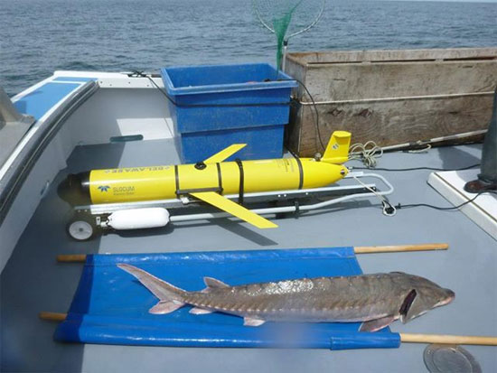 Robot bảo vệ cá tầm