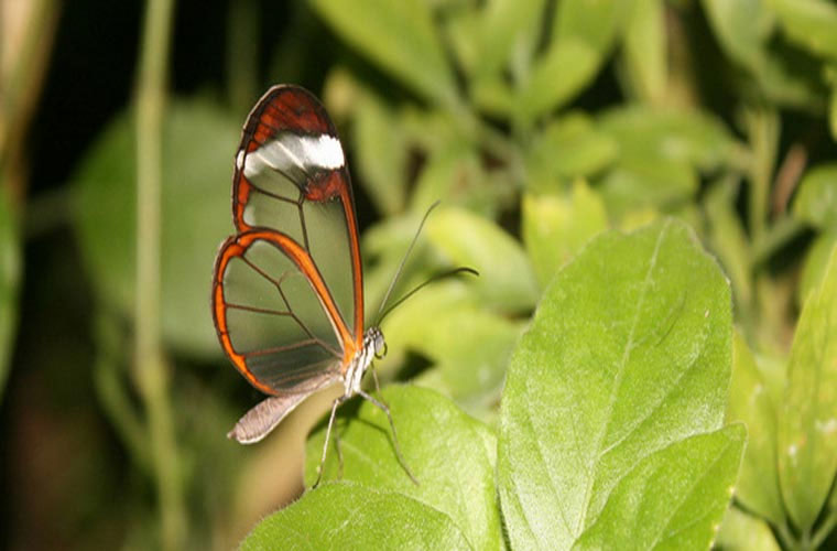 Cận cảnh bướm trong suốt bí ẩn