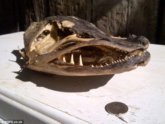 Phát hiện hộp sọ loài cá chó lớn nhất nước Anh