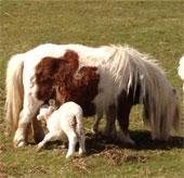 Ngựa nuôi cừu mồ côi