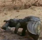 Video: Khỉ mẹ tấn công cá sấu giành lại con mình