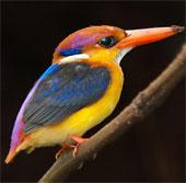 Những chú chim rực rỡ sắc màu nhất thế giới