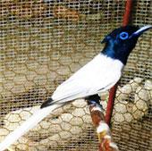 Phát hiện chim Thiên Đường ở Lào Cai