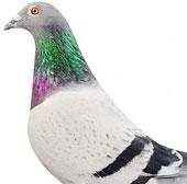 Con chim bồ câu đắt nhất thế giới