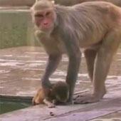 Video: Khỉ mẹ canh xác con bị chết đuối