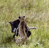 """Cận cảnh linh dương đầu bò đuổi báo chạy """"trối chết"""""""