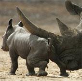 Video: Vườn thú Australia khoe tê giác con