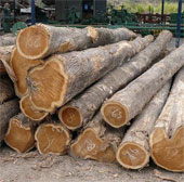 Tinh chế thành công bột gỗ chất lượng cao của Việt Nam