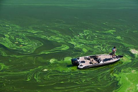 Những đám tảo xanh khổng lồ