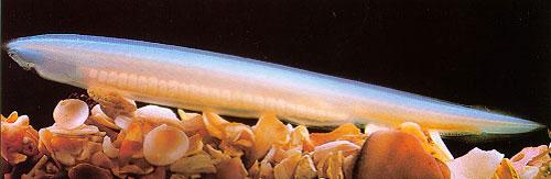 Thuỷ tổ các loài cá xuất hiện ở biển Việt Nam