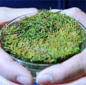 Hồi sinh rêu đóng băng 400 năm