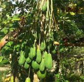 Cây đu đủ đực ra hàng trăm quả