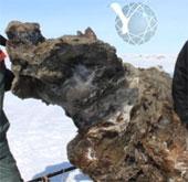 Khai quật voi ma mút còn máu tươi tại Siberia