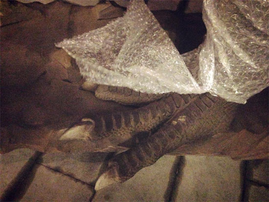 """Bất ngờ xuất hiện """"khủng long"""" khổng lồ tại Hà Nội"""