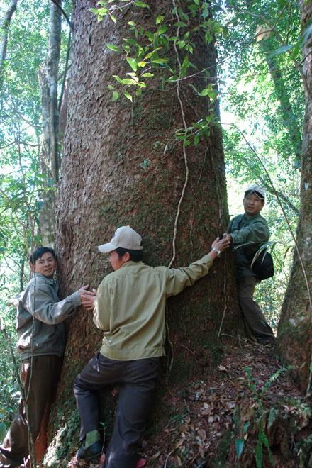 Thông hai lá dẹt - cổ thực vật hóa thạch sống