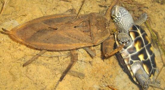 Một con bọ Kirkaldyia deyrolli đang ăn thịt một con rùa con