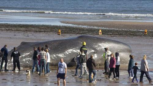 Cá voi mắc cạn và chết trên bờ biển Anh