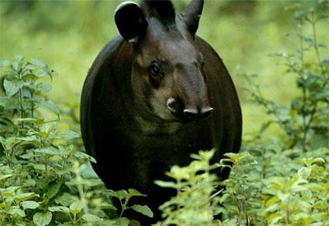 Heo vòi Tapir