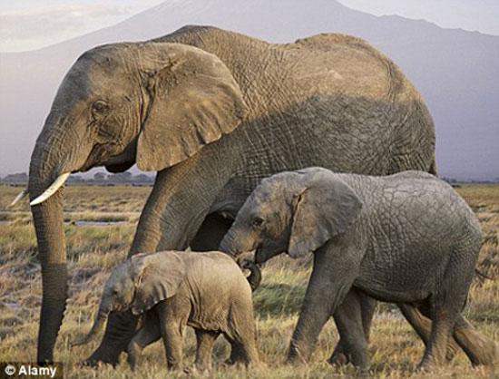 Giải mã ngôn ngữ của loài voi