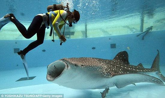 Chùm ảnh: Cá mập voi khổng lồ miệng rộng 1,5m
