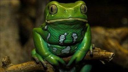 Da ếch có thể chữa ung thư