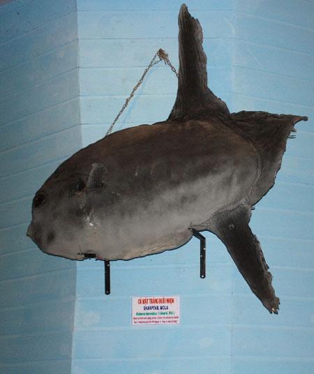 Cá mặt trăng đuôi nhọn, đánh bắt được tại Trường Sa năm 1998
