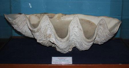 Ngọc trai khổng lồ, dài gần 1m, nặng 145 kg, mẫu thu được tại vùng biển Trường Sa tháng 4/1991