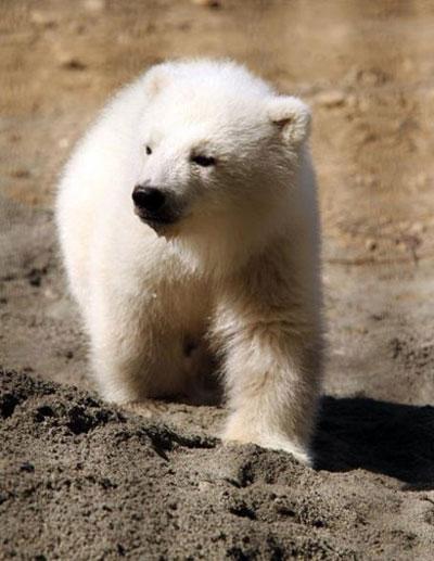 Một chú gấu trắng đang lơ ngơ khám phá các khu vực xung quanh tại một vườn thú ở Alaska
