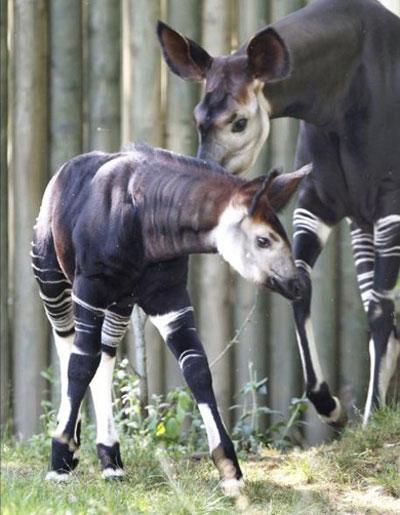 Một chú hươu đùi vằn Okapi 3 tháng tuổi tại một vườn thú ở Frankfurt, Đức