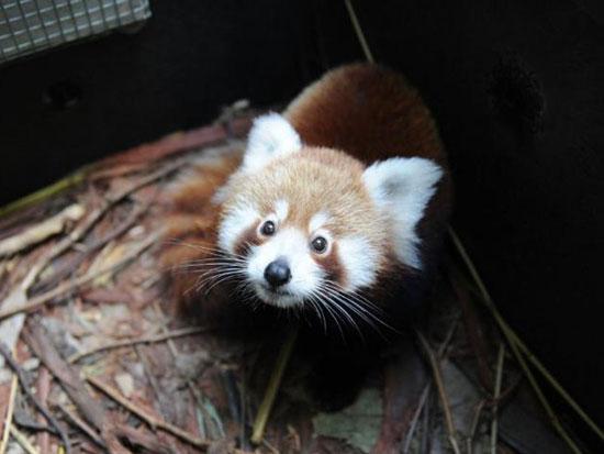 Một chú gấu panda đỏ tại ngôi nhà mới ở vườn thú Taronga, Sydney, Úc