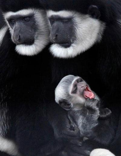 Một chú khỉ con Colobus châu Phi đang ngáp ngon lành trong vòng tay của mẹ