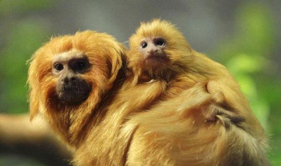Đôi khỉ mẹ con thuộc giống khỉ sư tử vàng tamarin tại vườn thú ở Cleveland