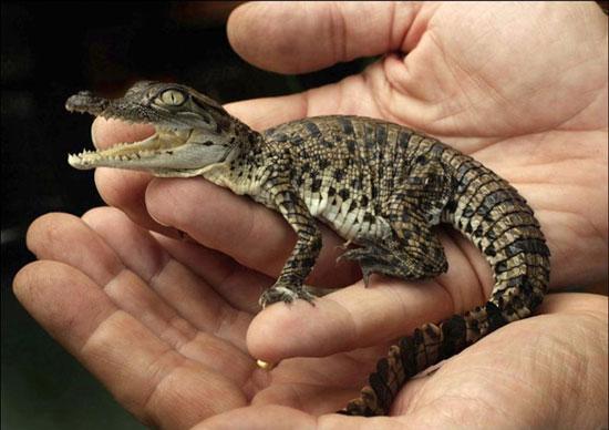 Một chú cá sấu con vừa mới nở nằm gọn trong lòng bàn tay của nhân viên tại vườn thú Butterfly Creek