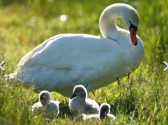 Một bầy mẹ con thiên nga
