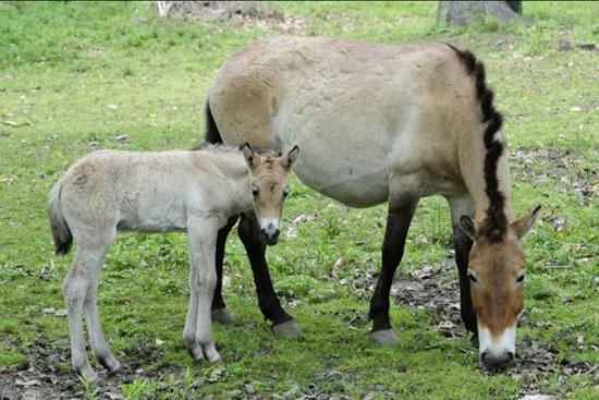 Đôi ngựa mẹ con thuộc giống ngựa hoang dã Przewalski hay Mongolian tại khu vực bảo tồn ở New York