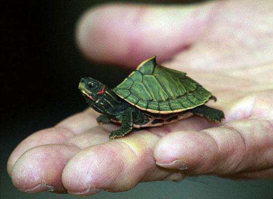 Chú rùa xanh Ấn Độ bé nằm gọn trong tay người