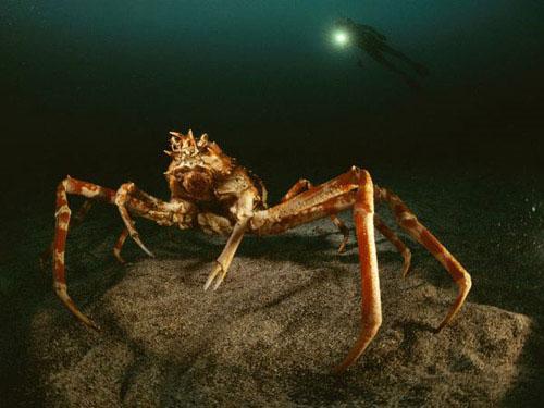 Cua nhện khổng lồ