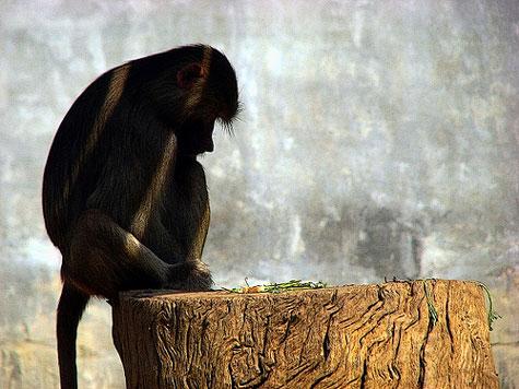 """Khỉ cũng biết """"hối hận"""""""