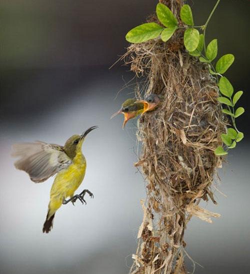 Chim hút mật đang mớm mồi cho các con ở Banting