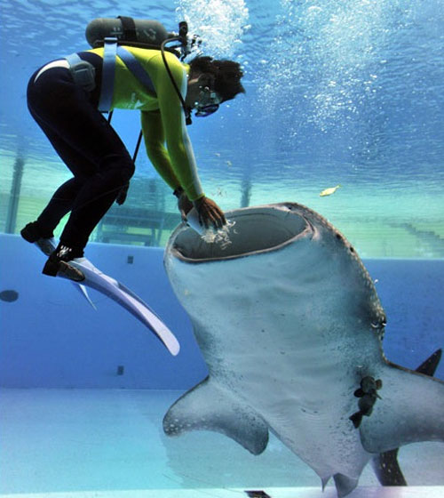 Thợ lặn đang cho cá mập ăn ở khu thủy sinh Sea Paradise