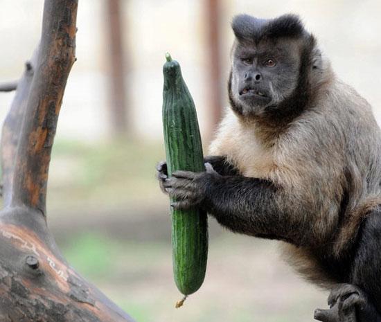 Loài khỉ mũ ở vườn thú Debrecen, Hungary